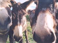 Randonnée avec un âne dans le Vercors